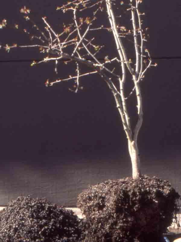 bonsai_pruning10