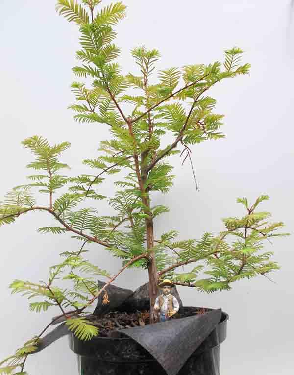 bonsai_pruning3