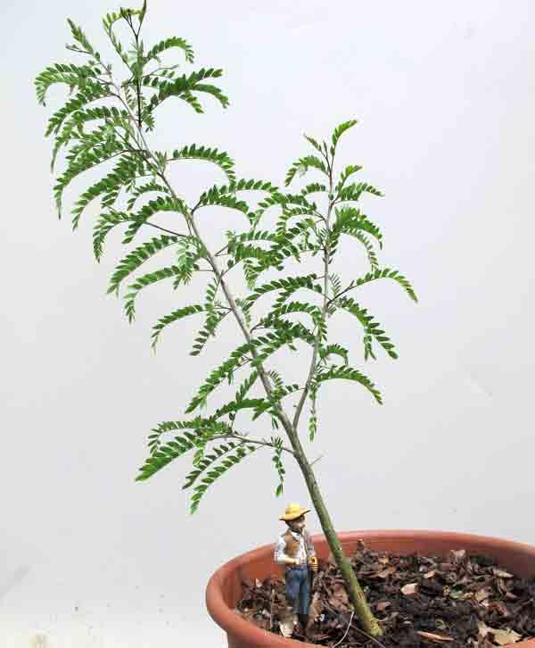 bonsai_pruning4