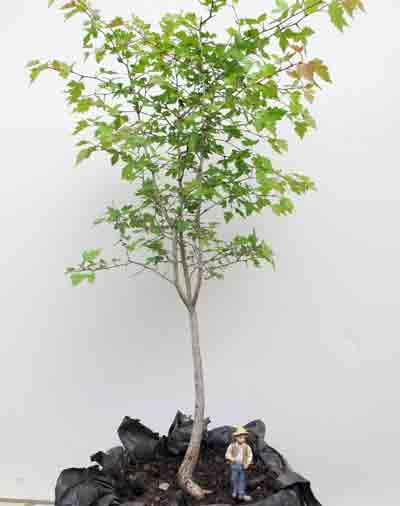 bonsai_pruning6