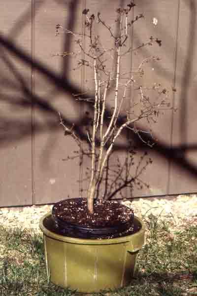 bonsai_pruning7