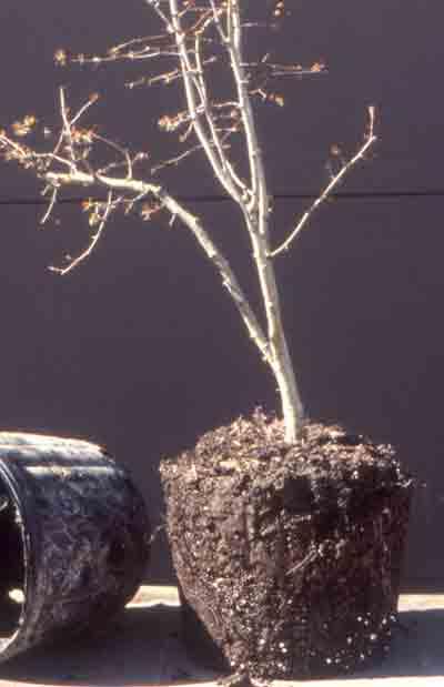 bonsai_pruning9