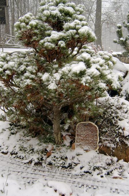 conifers2_10