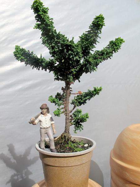 conifers2_4