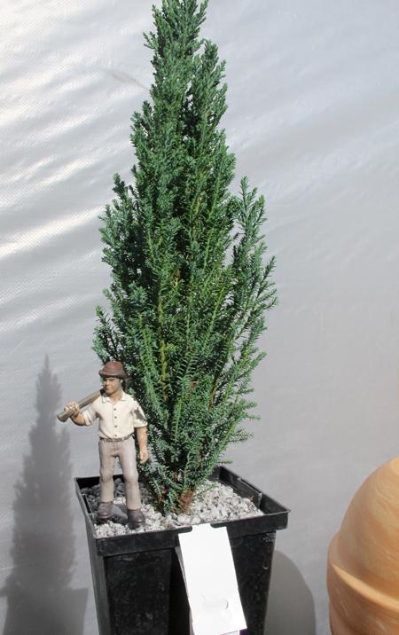 conifers2_5