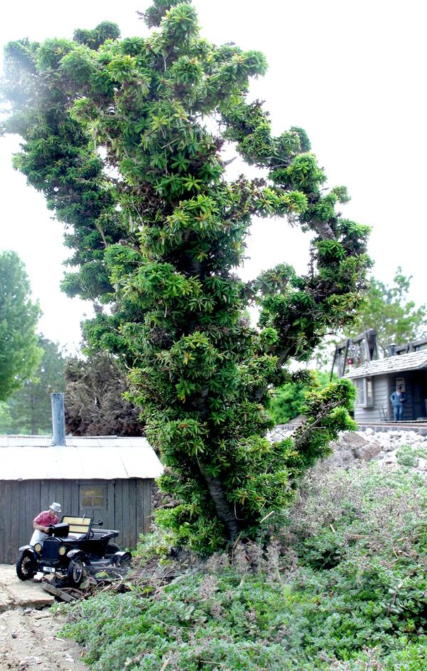 conifers6