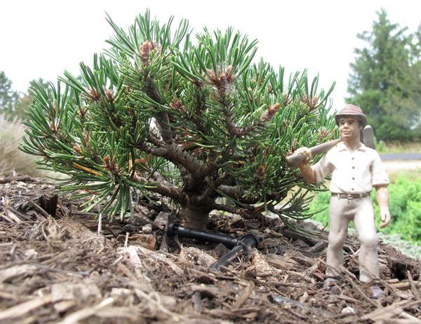 conifers9