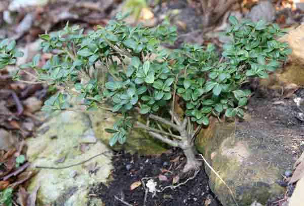 treelike6